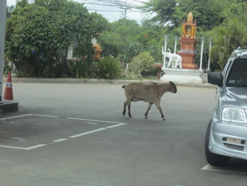 A goat in a petrol station. Casual.
